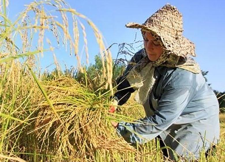 گلایه بخش کشاورزی از اجرایی نشدن درست قوانین حمایتی