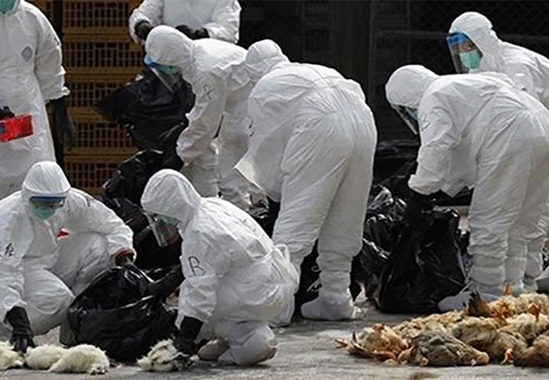 اقدامات تشخیصی بر روی ۱۰ هزار نمونه ارسالی ویروس آنفلوانزای مرغی از سراسر کشور