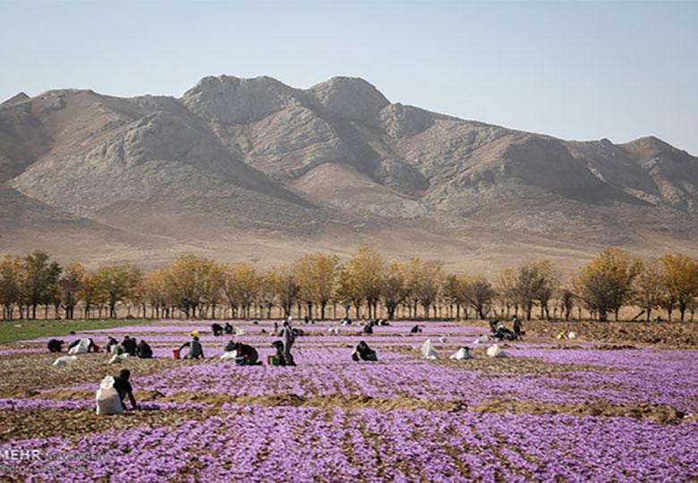 رشد ۶۰ درصدی صادرات زعفران