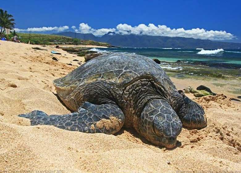 لاکپشتهای دریایی ایران در معرض تهدید