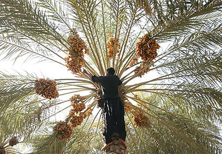 اولین شهرک تخصصی خرما افتتاح میشود