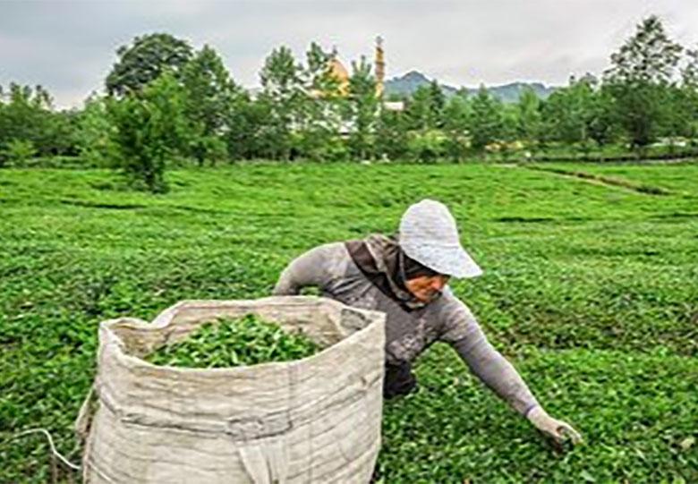 لاهیجان ؛ برداشت چای +تصاویر