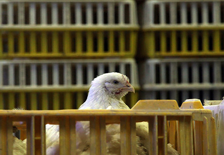 قیمت  مرغ  درآستانه ۸۰۰۰تومانی شدن