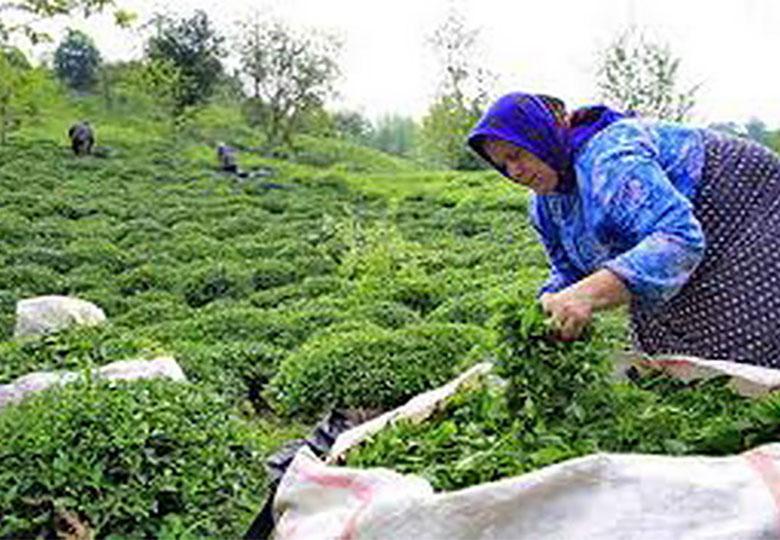 افزایش ۱۰ درصدی تولید چای