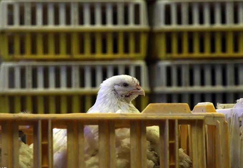 مذاکره با عراق و کشورهای حاشیه خلیج فارس برای صادرات مرغ