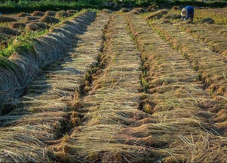 تضمینی به مردم درباره نوعی برنج وارداتی