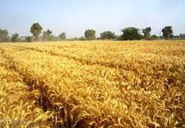 ایران جزو ۱۰ کشور تولیدکننده گندم دوروم در جهان