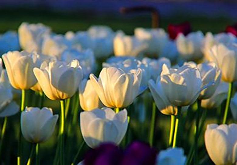 افزایش ۲۰ درصدی فروش گل در نیمه شعبان