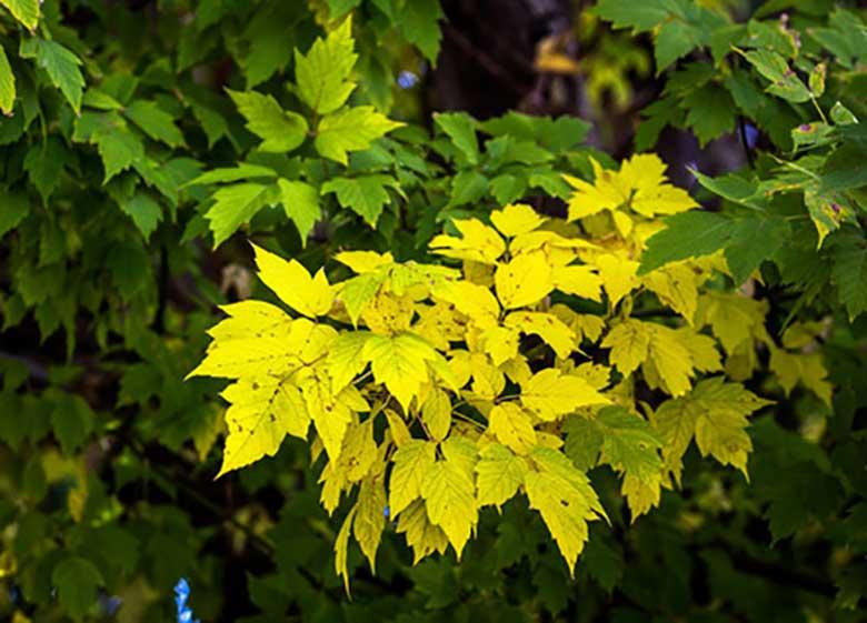 دلیل زرد شدن زودهنگام درختان پایتخت چیست؟
