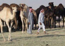 عربستان، شترهای قطری را هم اخراج کرد! +ویدیو