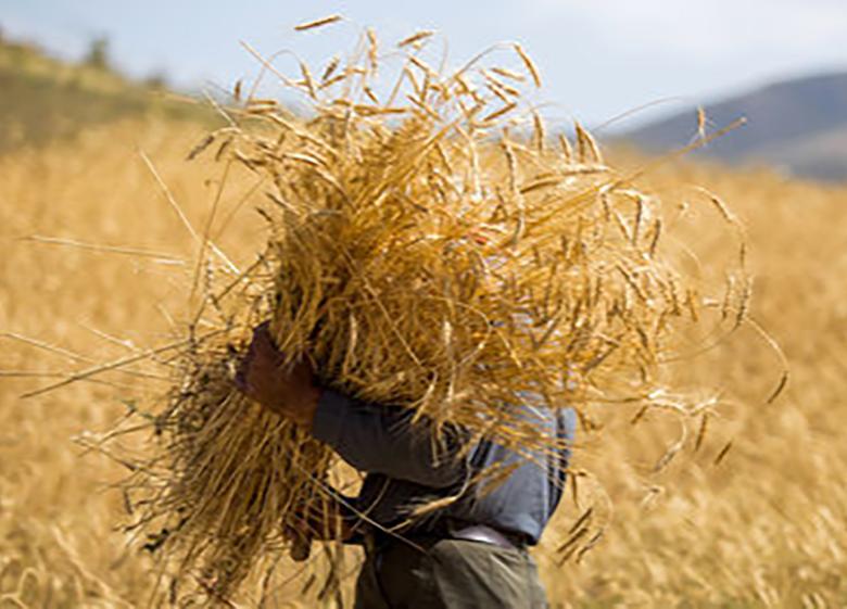 خرید ۴میلیون تن گندم مازاد کشاورزان