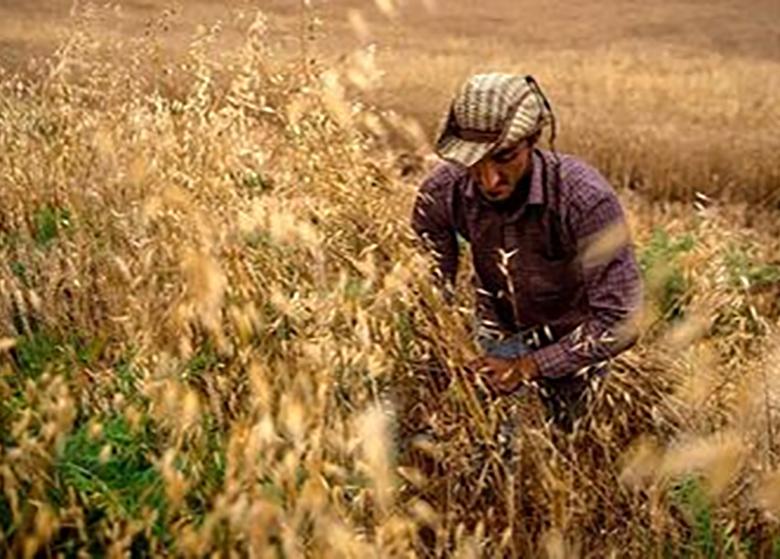 ۱۲.۵میلیون تن گندم در کشور تولید میشود