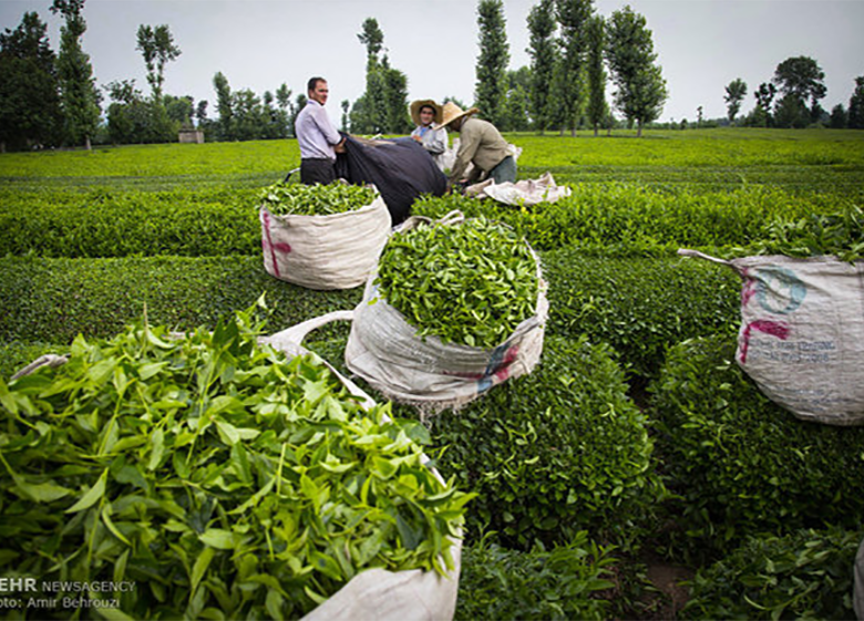 اتمام چین دوم برگ سبز چای