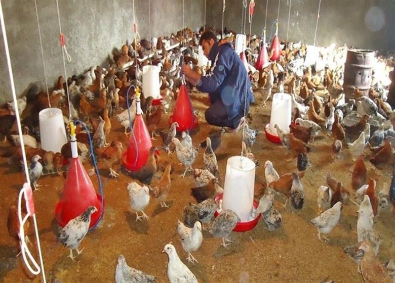 تولید مرغ ۲۰۰ هزار تن مازاد بر مصرف است