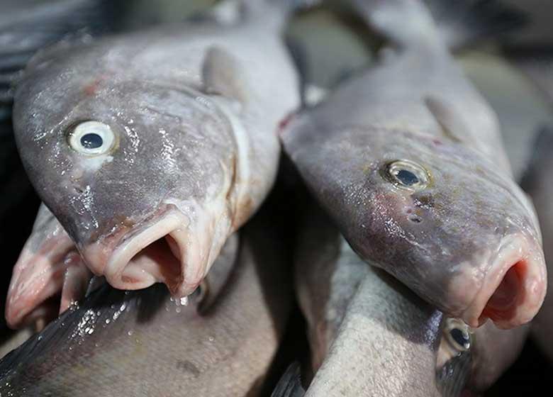 تغییر جنسیت ماهیهای نر به ماده بهدلیل آلودگی رودخانهها