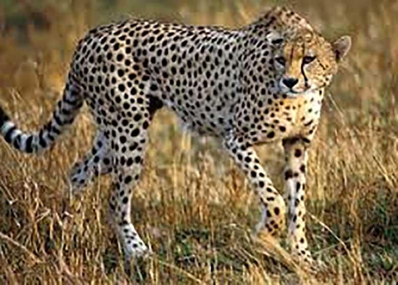 حمله یوزپلنگ به مرد بشاگردی