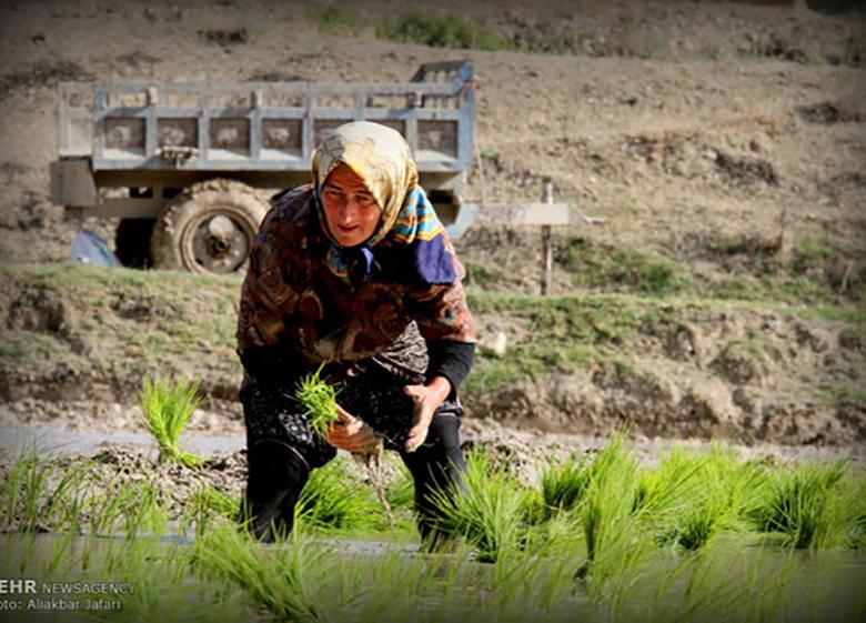 انتقاد انجمن برنج از بی برنامگی وزارت جهاد