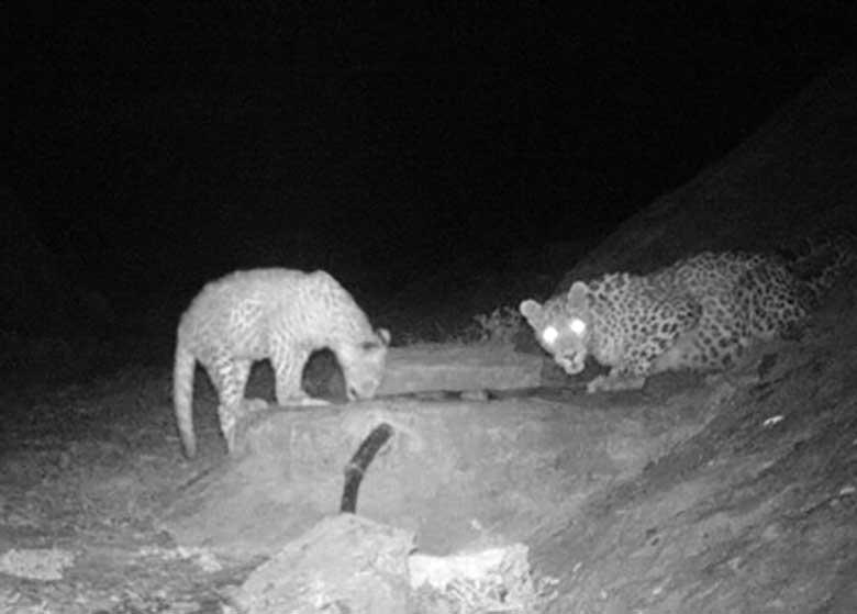 ثبت تصویر ۲ پلنگ ایرانی در پارک ملی توران شاهرود