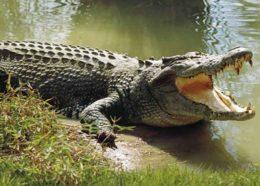 ویدیو؛ وعده ناهار تمساح ها!