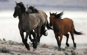 (ویدیو) نبرد دیدنی اسبهای موستانگ در آمریکا