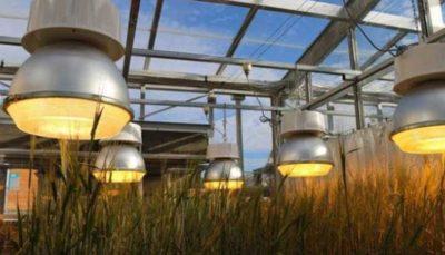 تولید گندم با چراغهای ال ای دی سه برابر شد