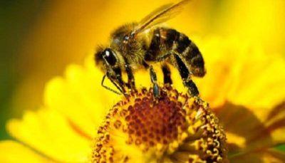 نژاد زنبور اصلاح شد/ افزایش تولید عسل از زنبورهای بومی
