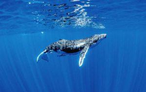 تلاش ۱۵ ساله هوش مصنوعی گوگل برای شناسایی صدای نهنگ گوژپشت در اعماق دریا