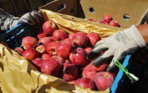 ذخیره ۷۰۰ هزار تن سیب درسردخانه های کشور،مشکلی برای شب عید نداریم