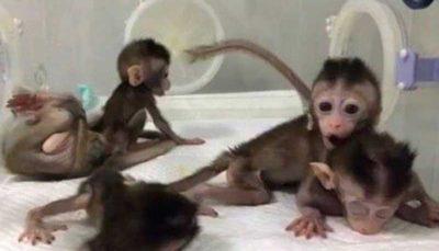 ۵ میمون شبیه سازی شده در چین متولد شدند