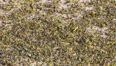 ملخهای صحرایی