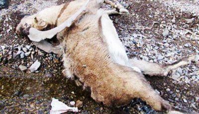 مصرف علوفه یخزده عامل مرگ ۱۶۰ رأس کل و میش در پارک ملی گلستان شد