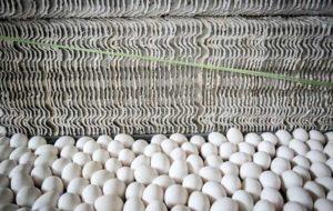کاهش شدید قیمت تخم مرغ/ورود اتحادیه میهن به بازار از فردا