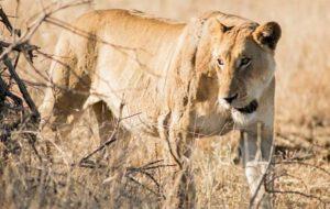 """فرار ۱۴ شیر از پارک ملی """"کروگر"""" در آفریقای جنوبی"""