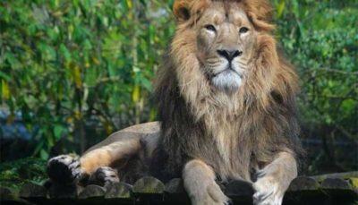 24 23 شیر ایرانی نر و ماده, زندگی مشترک, باغ وحش تهران