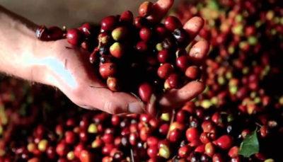 بزرگترین تولیدکنندگان دانه قهوه جهان کدامند؟
