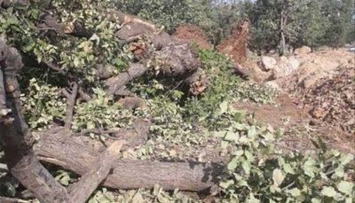 واکنش شورای عالی جنگل به قطع درختان صد ساله بلوط در یاسوج