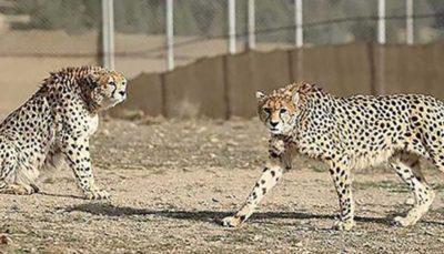 انتقال یوزهای آسیایی از پارک پردیسان به منطقه حفاظت شده یزد