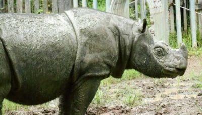 اعلام انقراض کرگدن سوماترایی در مالزی
