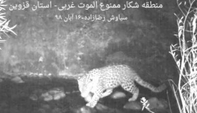 ثبت یک قلاده پلنگ ایرانی در الموت الموت, پلنگ ایرانی