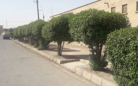 علت مشکل تنفسی مردم خوزستان درخت کنوکارپوس است؟