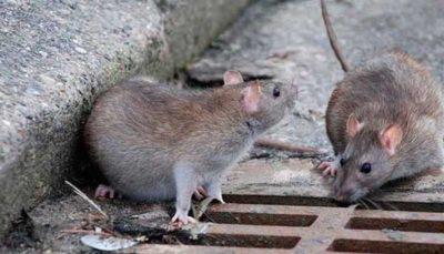 مرگ موش نانویی هم تولید شد