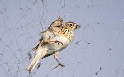 دامهای هوایی برای صید پرندگان در تالاب بینالمللی شادگان