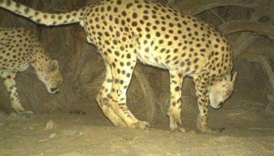 زندهگیری یوزپلنگهای یزد برای طرحی با ۲ درصد احتمال موفقیت!