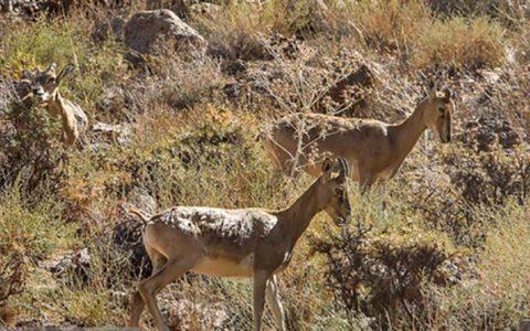 سازمان محیط زیست از صدور مجوز شکارچهارپا منفعتی نمیبرد