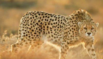 شروع دوباره پروژه حفاظت از یوزپلنگ ایرانی