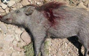 شکارچی گراز دستگیر شد