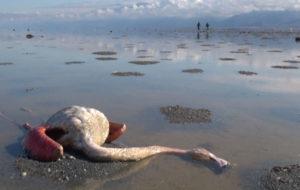 اعلام نتیجه بررسی علت مرگ پرندگان میانکاله