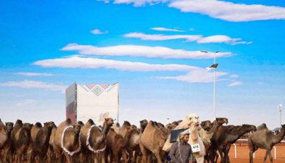 جشنواره شترها در عربستان (تصاویر)