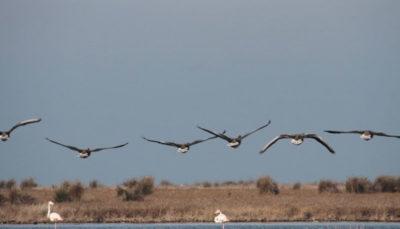 سازمان دامپزشکی: احتمال تلف شدن پرندگان میانکاله بر اثر سم بوتولیسم