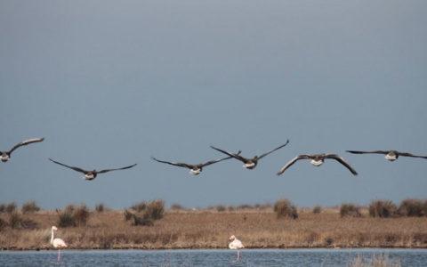 دامپزشکی احتمال تلف شدن پرندگان میانکاله بر اثر سم بوتولیسم